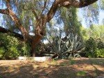 Huge aguave and pepper trees are found on the Marron property.